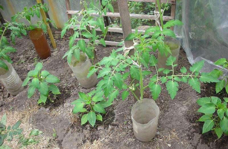 Капельный полив для помидоров в теплице