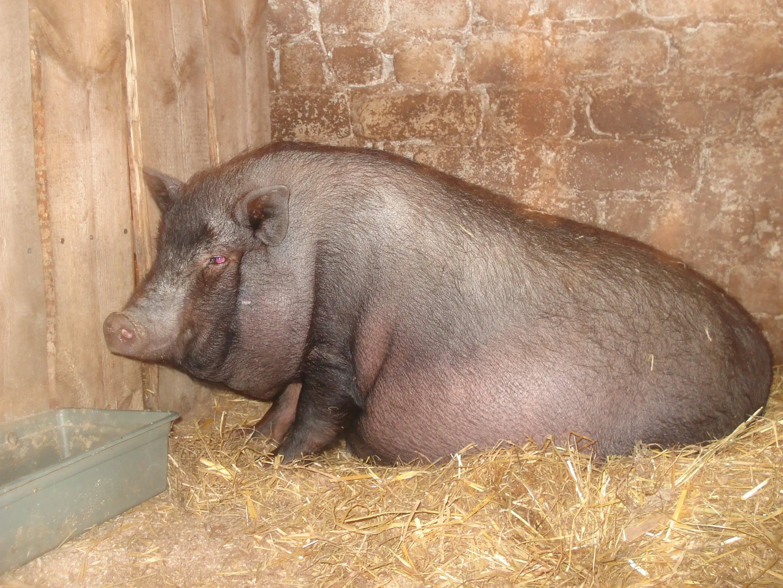 Сколько живут свиньи лет в домашних условиях