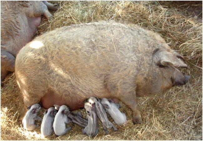 Венгерская пуховая мангалица – свинья с овечьей шерстью