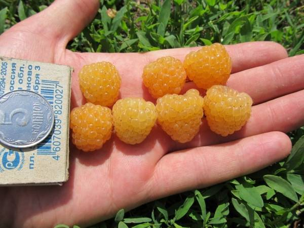 Топ-30 лучших сортов жёлтой малины   описание +фото