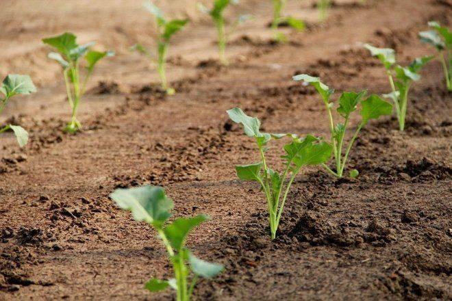 Капуста семенами в открытый грунт