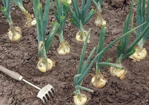 Предшественники овощей при посадке таблица