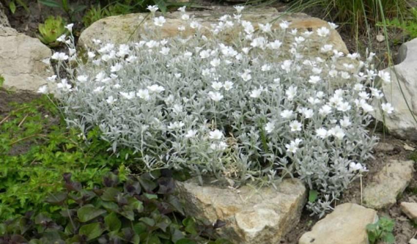 Ясколка: посадка и уход, фото, выращивание в открытом грунте, размножение и сочетание в ландшафтном дизайне