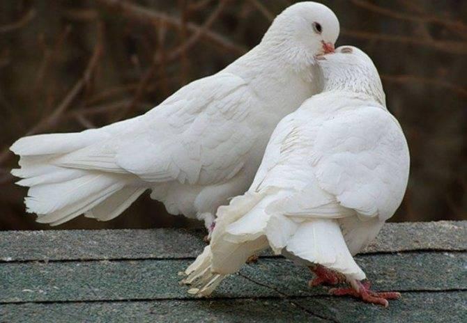 Содержание голубей в домашних условиях: правила ухода за ними