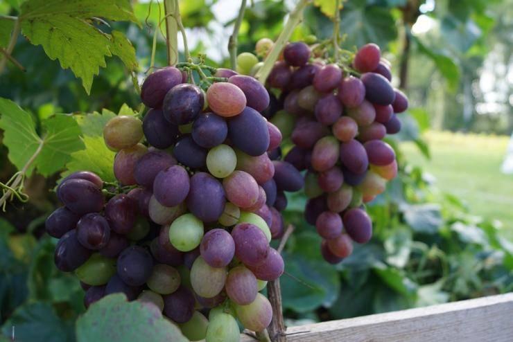 Виноград в сибири для начинающих: посадка и уход, обрезка
