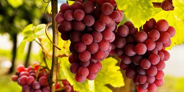 Сколько калорий в зеленом винограде киш миш. свойства винограда кишмиш | здоровое питание