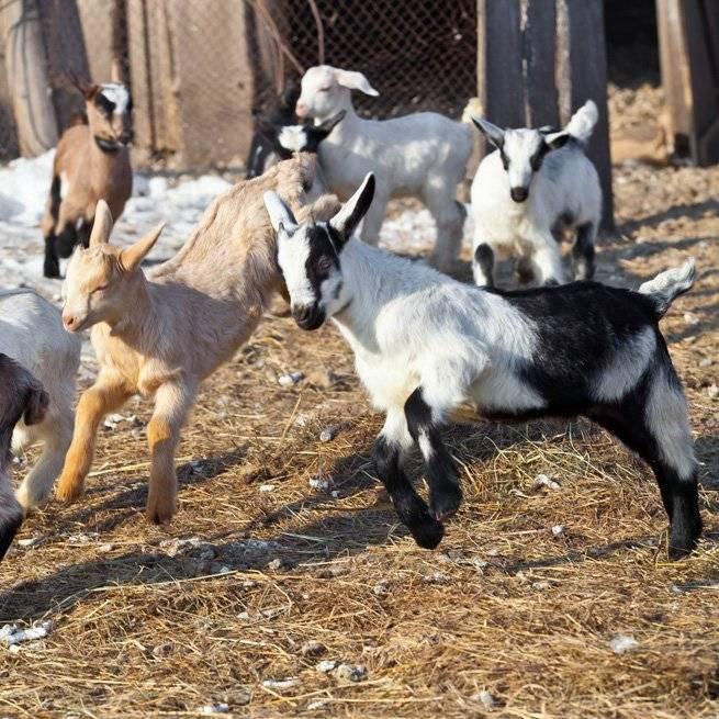 Как раздоить козу без окота и после первого окота