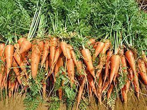 Совместимость капусты с другими овощами: что можно сажать рядом с растением? правила севооборота