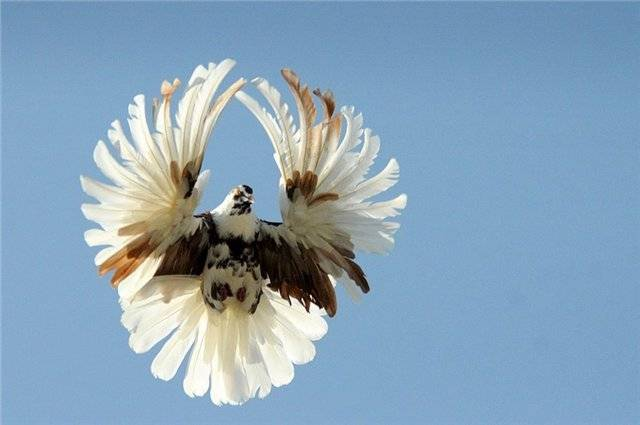 Какого ухода требуют торцовые голуби?