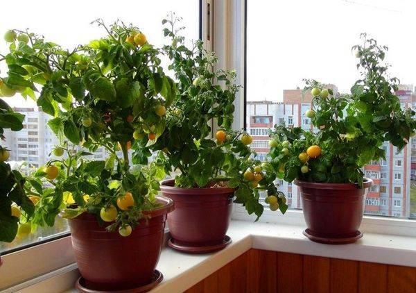 Помидоры черри: выращивание на подоконнике или балконе
