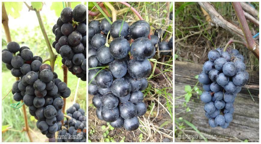Лучшие винные (технические) сорта винограда: описания, характеристики и фото