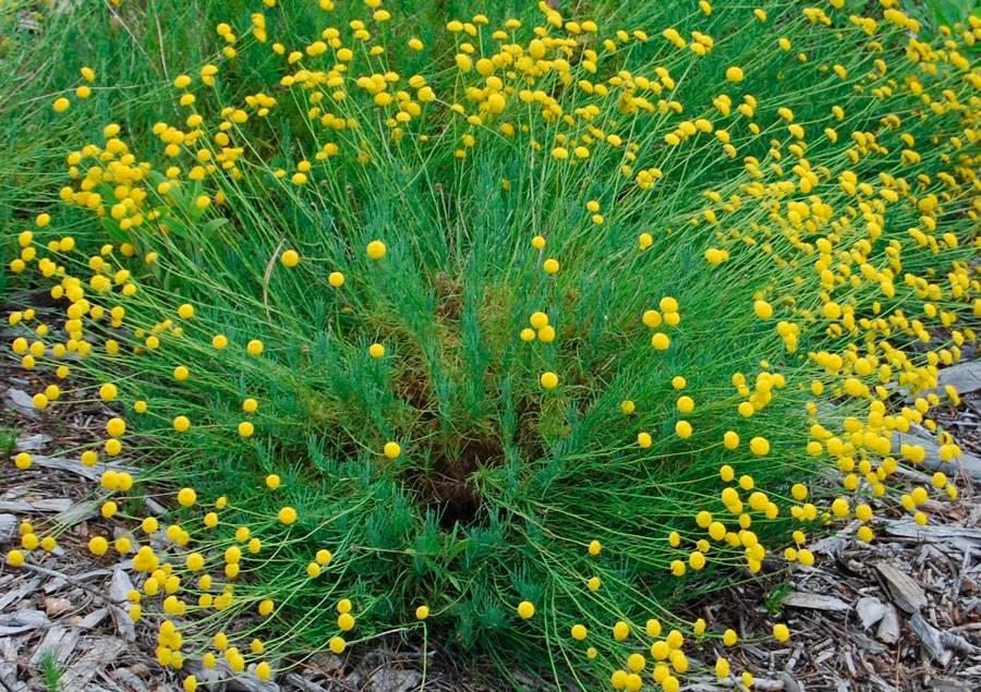 Сантолина - посадка и уход, фото растения, обрезка кустарника, описание