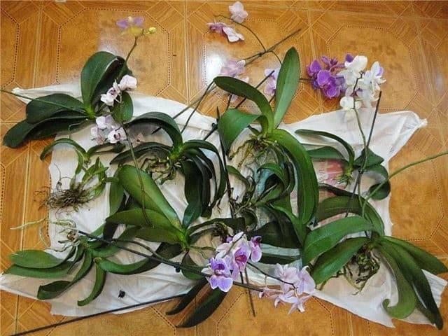 Можно ли пересадить орхидею во время цветения: пошаговая инструкция и особенности пересадки - sadovnikam.ru