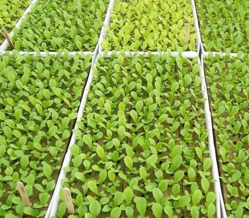 Бизнес идея выращивание редиса с расчетами
