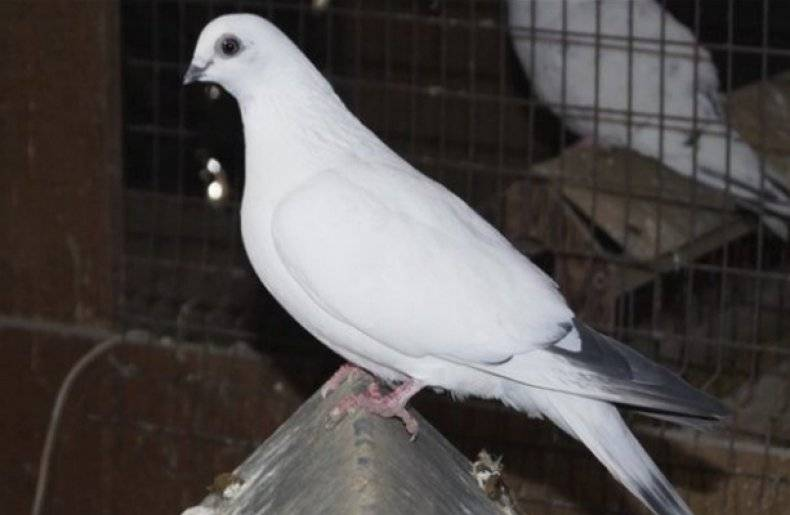 Какие бывают породы бойных голубей? - дача круглый год