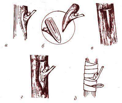 Как укоренить черенок груши осенью