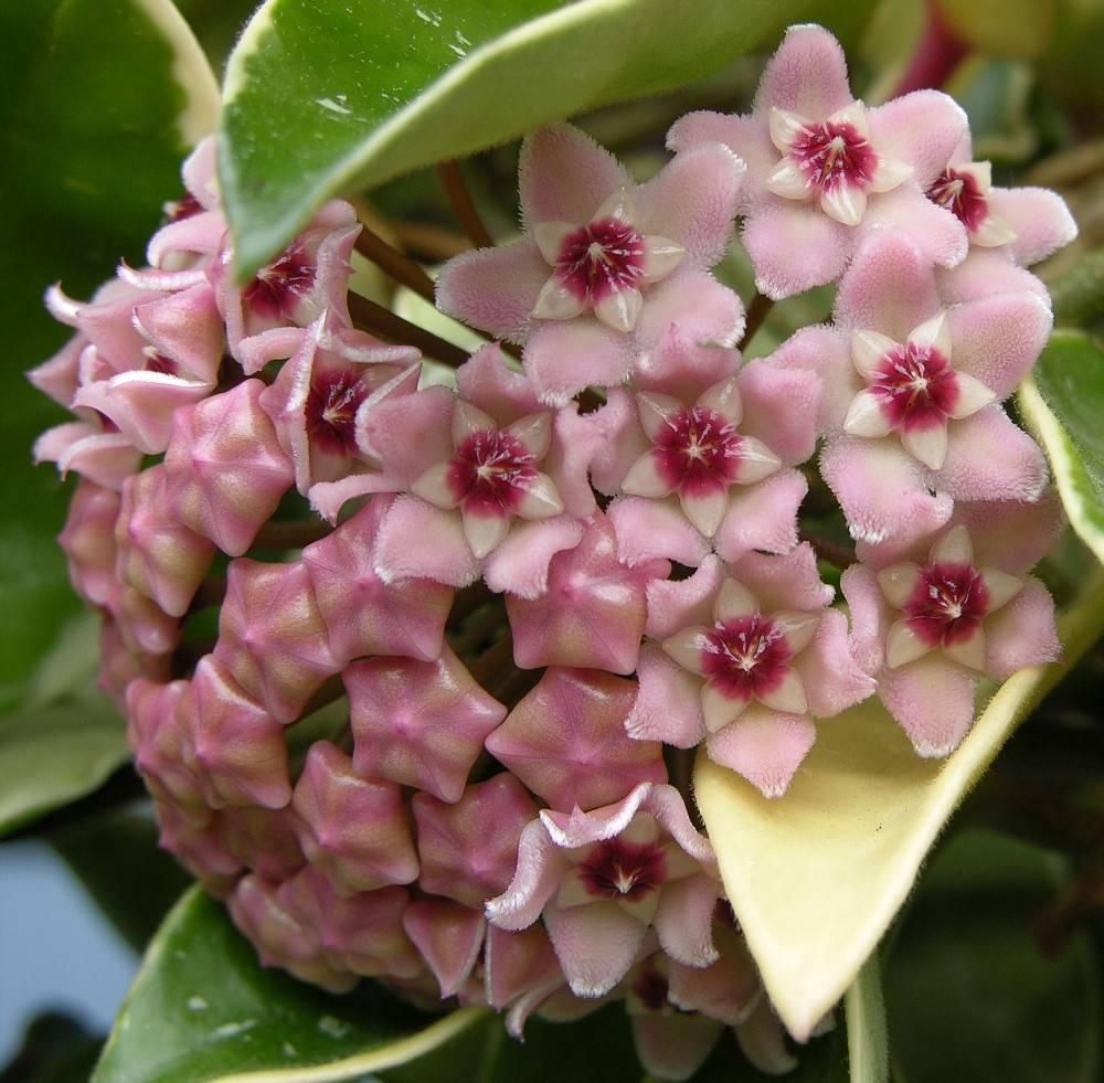 Популярные разновидности хойи для истинных поклонников экзотичных комнатных растений   полезные решения от корнеича