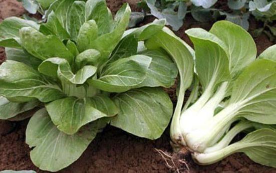 Китайская капуста пак чой: выращивание, уход, отзывы, фото, вредители