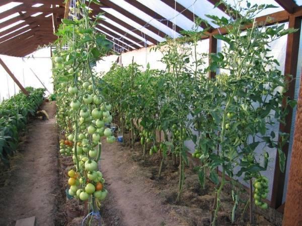 Выращивание томатов в теплице из поликарбоната: посадка и уход