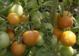 «махитос» — самый новый высокоурожайный сорт томата