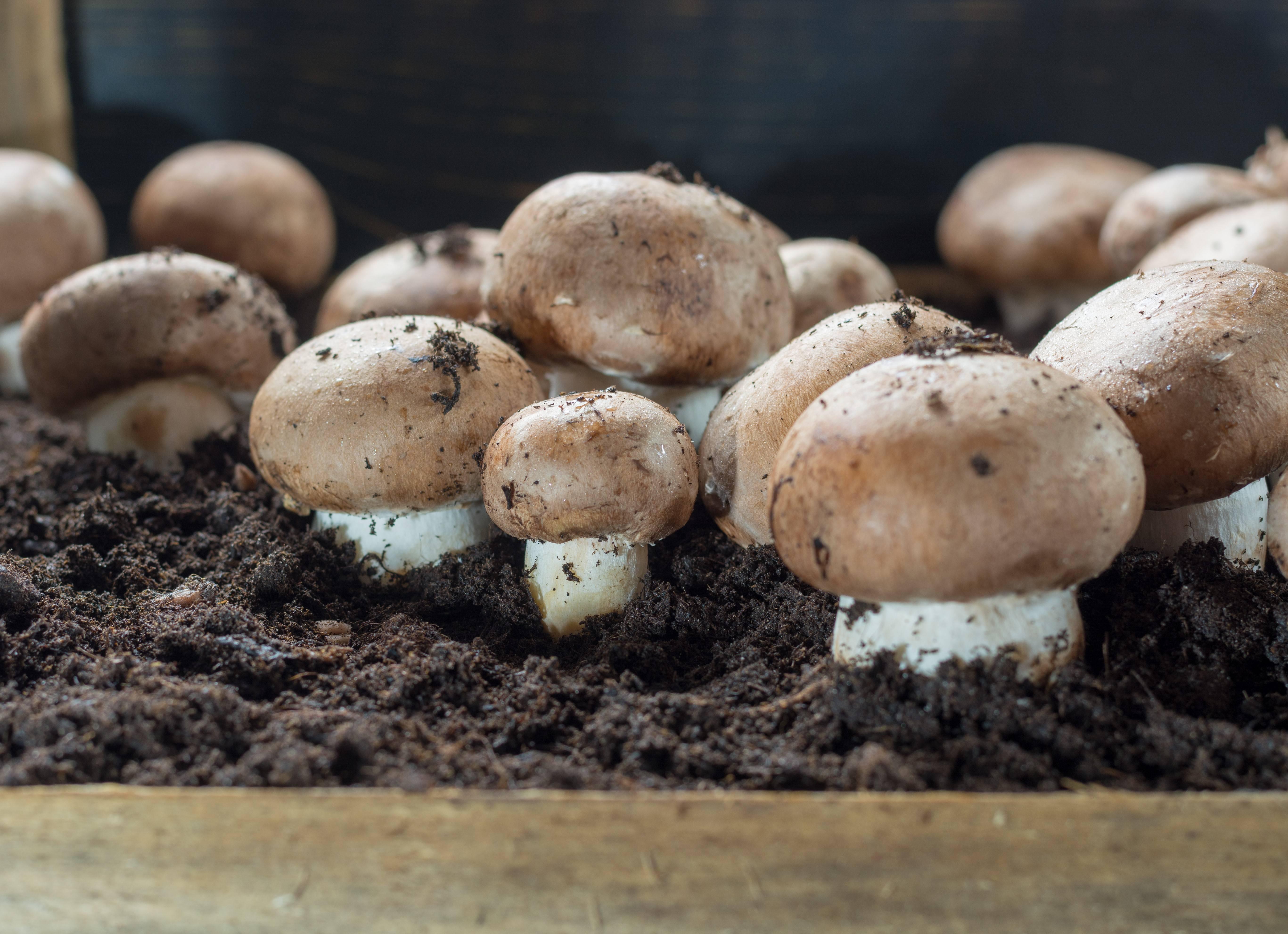 Белые грибы в домашних условиях: выращивание дома, на даче, приусадебном участке и подоконнике из спор