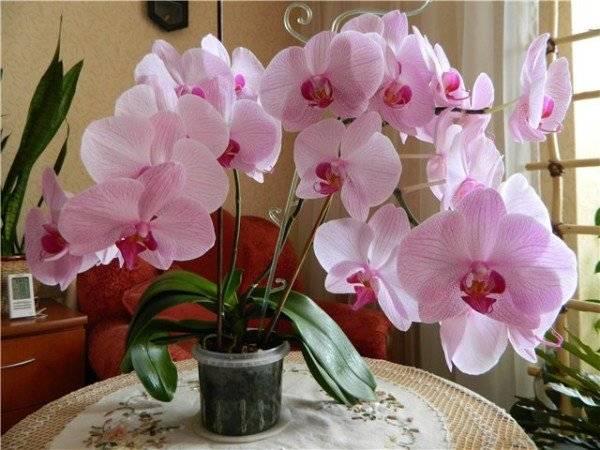 Агротехника орхидеи фаленопсис дома: размножение, пересадка, цветение