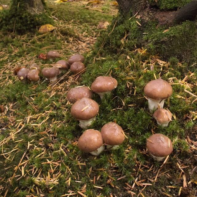 Гриб масленок — фото и описание, грибы похожие на маслята, выращивание маслят в домашних условиях. | cельхозпортал