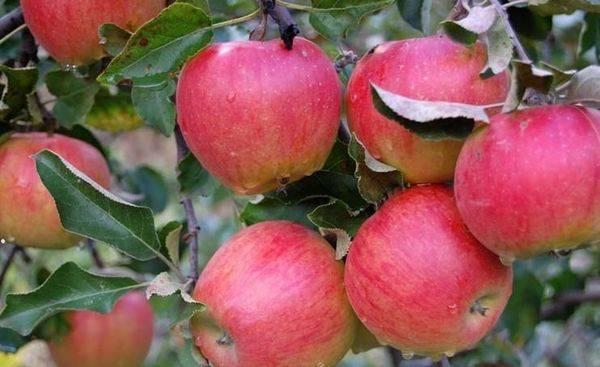 Топ-15 ранних сортов яблок для средней полосы (подмосковья) и других регионов россии