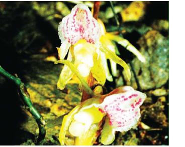 Надбородник безлистный растение из красной книги