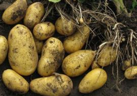 Картофель ласунок — характеристика и описание сорта, выращивание