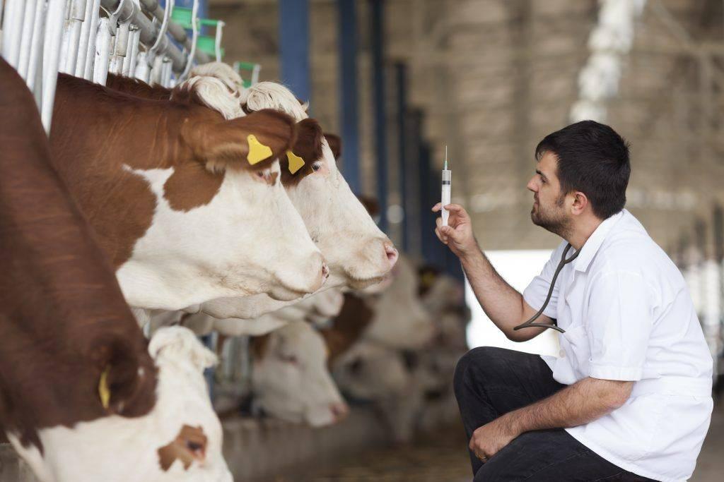 Виды искусственного осеменения коров: маноцервикальный и цервикальный способы
