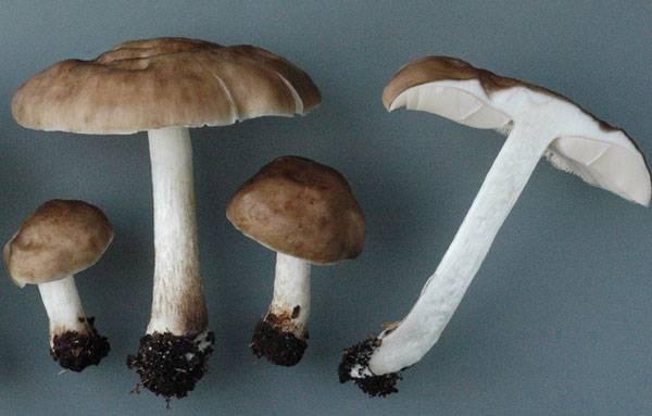 Плютей - гриб плютей и его разновидности