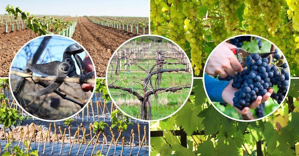 Уход за виноградом - советы по посадке, обрезке и обработке (145 фото и видео описание)