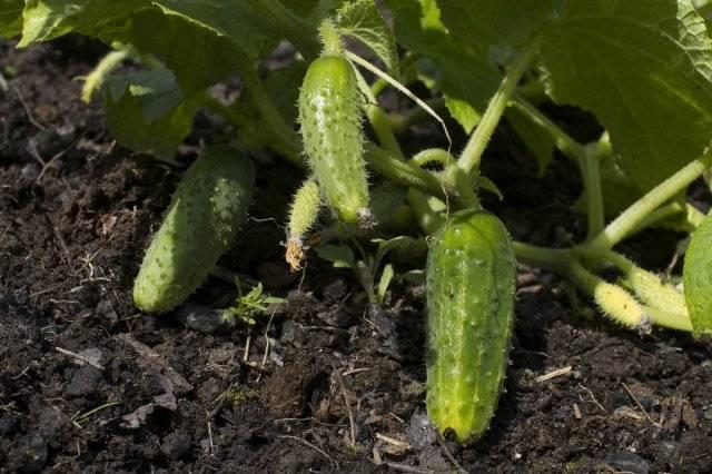 Чем подкормить огурцы в открытом грунте