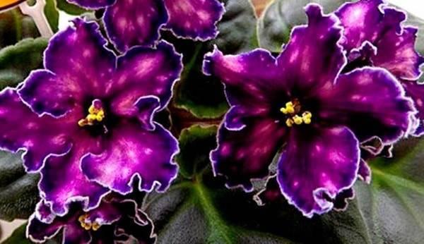 Посадка и уход за фиалкой в домашних условиях: фото и видео о прекрасных цветах
