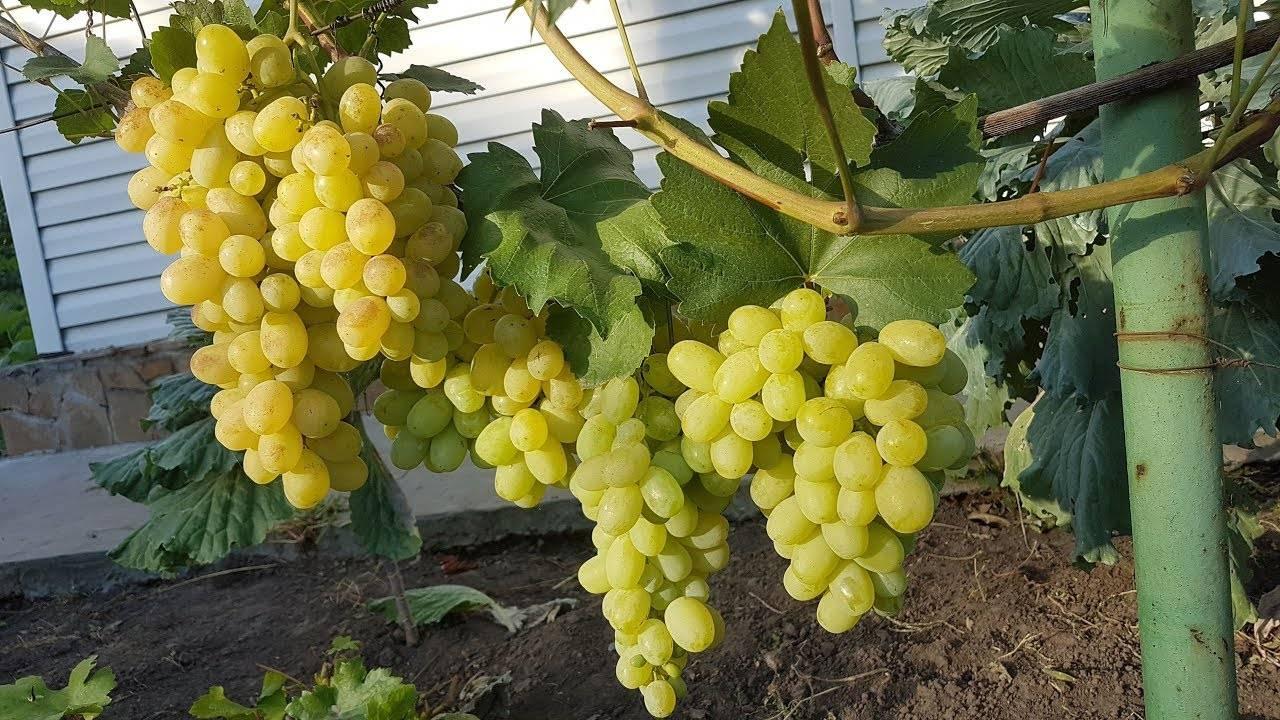 Виноград лора: описание сорта и 8 особенностей агротехники