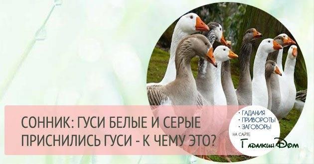 Сонник гуси. к чему снятся гуси во сне женщине и мужчине
