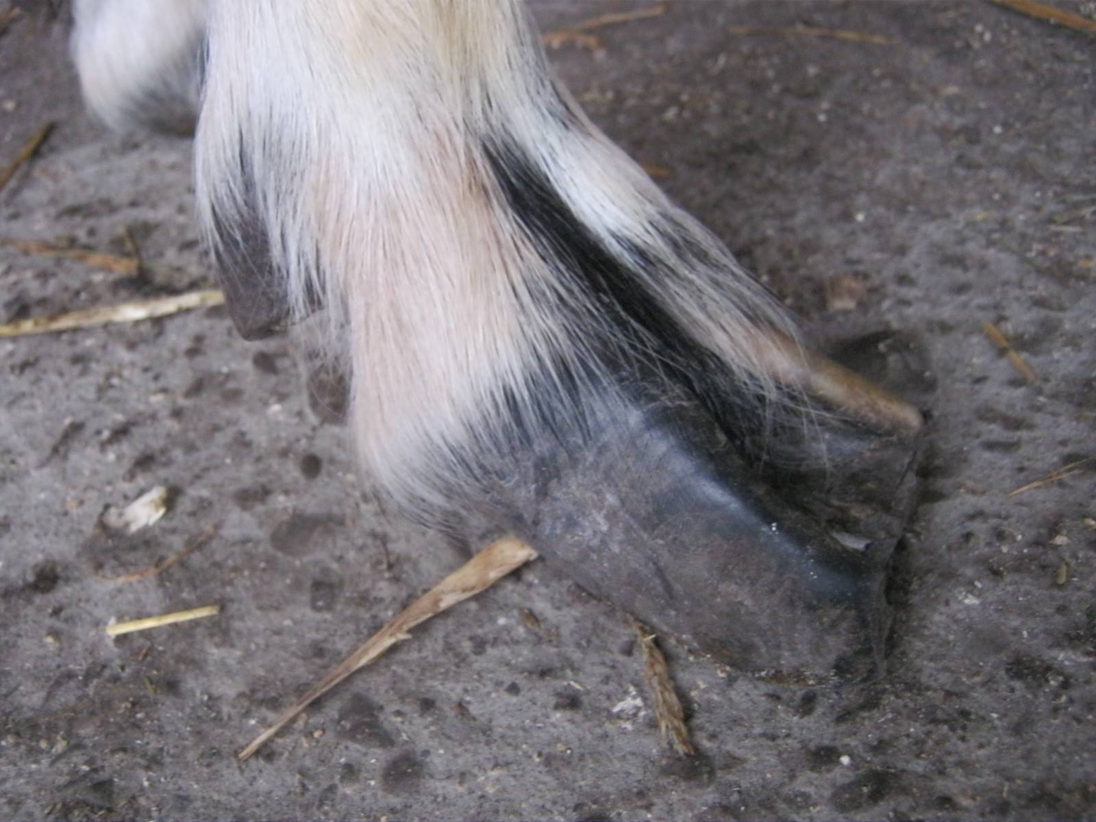 Правильная обрезка копыт у коз. описание с фото и видео