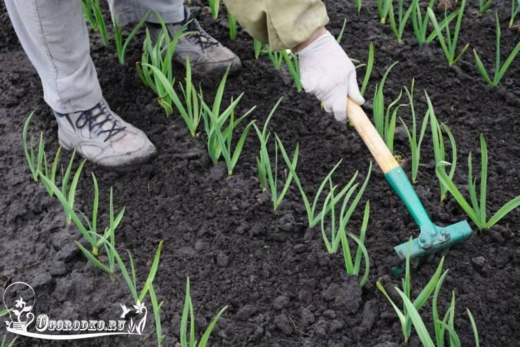 Подкормка чеснока весной и летом для достижения высокой урожайности