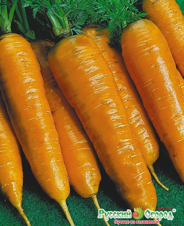 Морковь тушон: характеристика и описание сорта