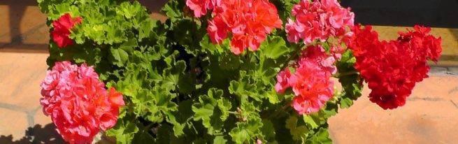 Герань — уход в домашних условиях и родина комнатного растения
