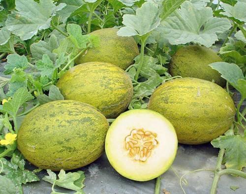 Как правильно выращивать арбузы и дыни в теплице: посадка, уход и сбор урожая