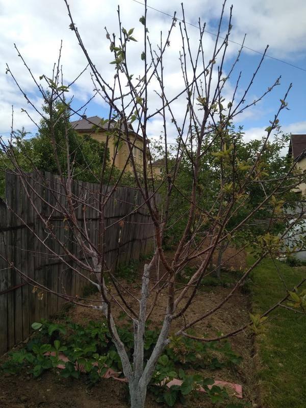 Почему сохнет яблоня: ветки, листья, что делать, причины