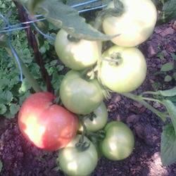 Сорт помидор «кукла f1»