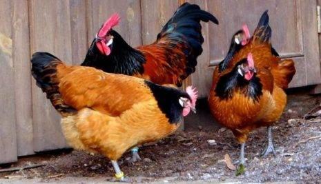 Порода кур билефельдер (42 фото): описание птиц. как вырастить цыплят? отзывы