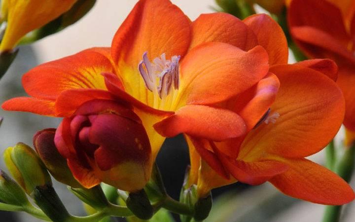 Цветок фрезия - уходи выращивание в саду и в домашних условиях
