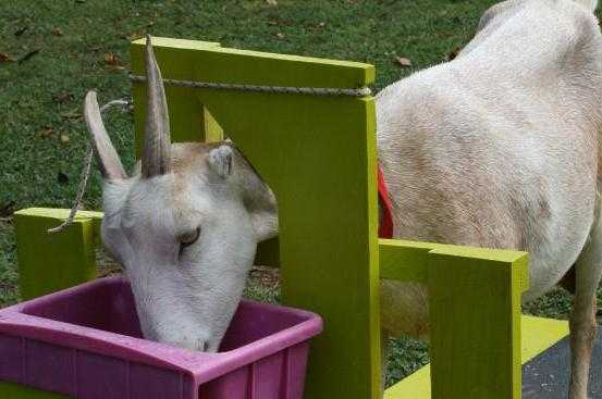 Описание станка для дойки коз - мыдачники