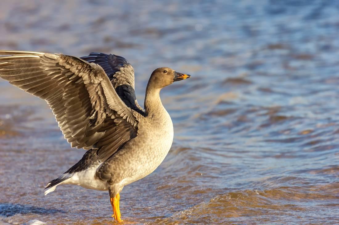 Птица гуменник: [фото, описание и характеристики]