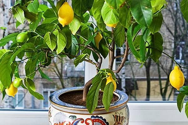 Почва для лимона в домашних условиях, кислотность и состав