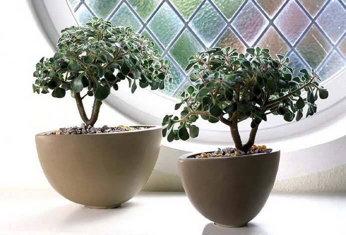 Денежное дерево (толстянка) в домашних условиях